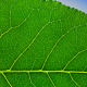 poplar-biofuel